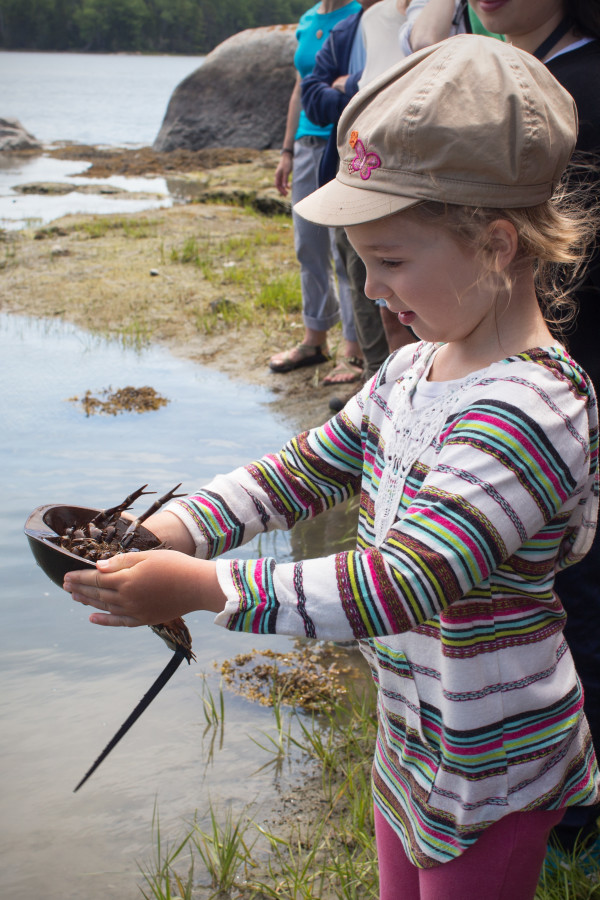 Lena Fisichelli, 5, of Winter Harbor holds a horseshoe crab on June 20 while on a guided nature walk organized by the Blue Hill Heritage Trust at Snow Maude E. Eugene Snow Natural Area in Brooksville.