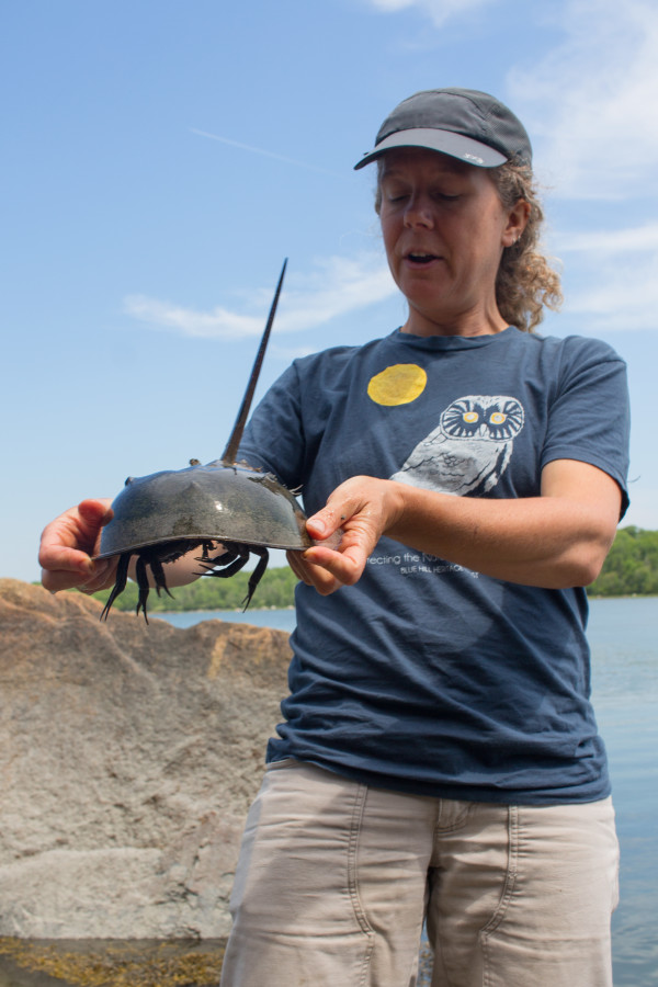 Sarah O'Malley, a naturalist and board member of Blue Hill Heritage Trust, holds a live horseshoe crab on June 20 while talking to a group of about 30 people about the creature on the banks of the Bagaduce River in Brooksville.