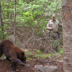 Biologist Randy Cross of the Maine Department of Inland Fisheries and Wildlife circles behind a chocolate-phase black bear during the department's annual spring trapping season. Bears are trapped, then released, and female bears are fitted with radio or GPS collars so they can be studied over the coming years.