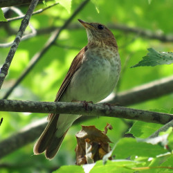 The veery prefers a thick, deciduous understory, preferably on the edge of wetlands, making it one of the hardest thrushes to see.