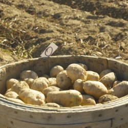 A barrel of potatoes waits to be hauled to storage on the Martin Farm in St. Francis, Sept. 25, 2015.