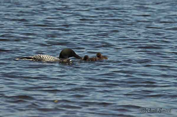 Maine donating up to 10 baby loons to massachusetts for Mass fish and wildlife