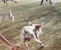 A piglet momentarily escapes capture during a pig scramble in Union in this August 2008 file photo.