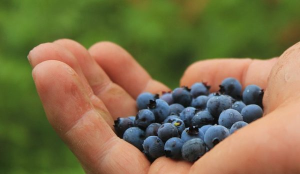 Feds to buy $10 million in wild Maine blueberries to help absorb glut