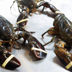 A few lobsters can be seen at the University of Maine in Orono in this March 2015 file photo.