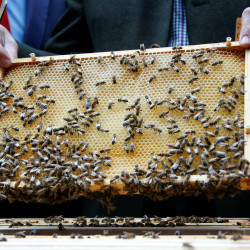 A beehive frame with honeycomb and honeybees is seen in Germany, April 25, 2016.