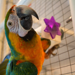 """A macaw parrot stares clings to the side of an enclosure Tuesday at Siesta Sanctuary, """"assisted living for retired parrots,"""" in Harmony. The sanctuary is home to 80 rescued parrots."""