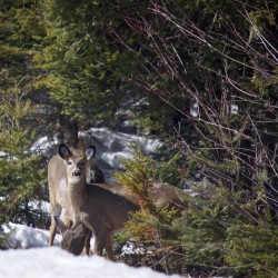 A white-tailed deer takes a look out over Route 9 in Maine in this April 2015 file photo.