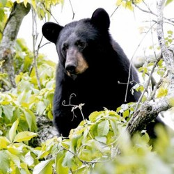 Video captures 2 black bears wrestling on lawn