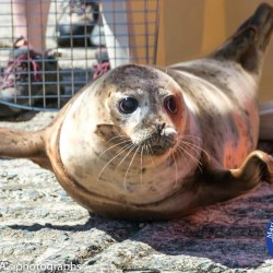 Copper, a young harbor seal rescued in Southport in March after becoming entangled in fishing line and then treated at Marine Mammals of Maine in Harpswell, was released Tuesday from Narragansett, Rhode Island, after four months of rehabilitation at the Mystic Aquarium in Connecticut.