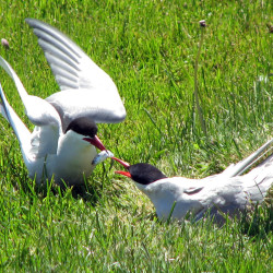 Arctic terns win the gold medal for longest migration. Some terns may fly 56,000 miles yearly.