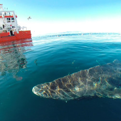 A Greenland shark swims near the surface after its release from the research vessel Sanna in northern Greenland, in this undated handout picture from Julius Nielsen.