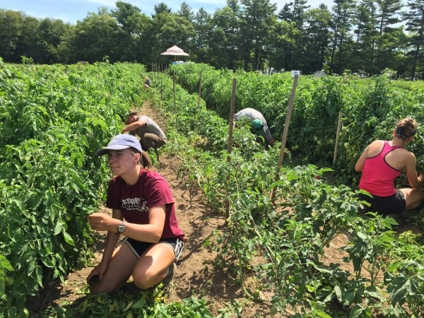 Maya Bradbury (left), 16, of Freeport and other teens work during Wolfe's Neck Farm's summer Teen Agriculture program on Tuesday in Freeport.