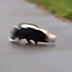 Aimee Peterson Cyr was one of at least two people who videoed the hapless skunk as it walked in circles near Millinocket Fabrication and Machine, Inc., before being freed by another resident, Tammy McLain, at about 7 a.m. Sunday.