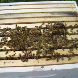 Among the conditions that can impact honeybee colonies is European foulbrood. The disease is treatable, but after Jan. 1, beekeepers will need a prescription from a licensed veterinarian to purchase what is now the over-the-counter antibiotic.