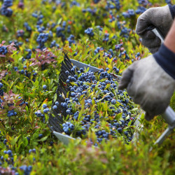 Chuck Gould rakes blueberries on Aug. 12 at one of the Passamaquoddy Wild Blueberry Company fields in Township 19 in Washington County.