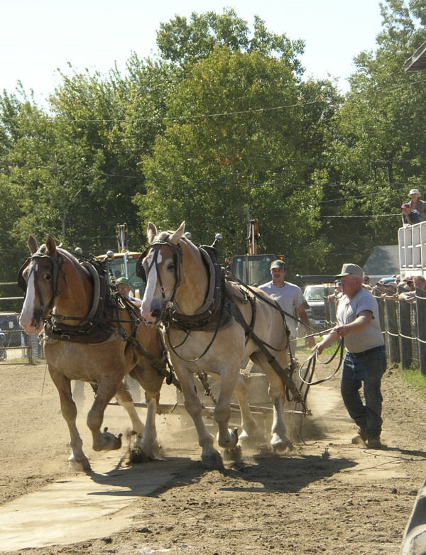 Tom Booth of Pittsfield drives his draft horses Ted and Shorty during one of the pulling events at the 2009 Blue Hill Fair. The team took first place in the 3200 class.