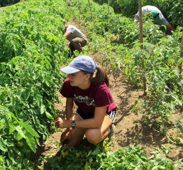 Maya Bradbury, 16, of Freeport prunes tomato plants during Wolfe's Neck Farm's summer Teen Agriculture program on Tuesday in Freeport.