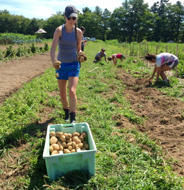 Allie Armstrong, a Bates College student from Yarmouth, harvests potatoes during Wolfe's Neck Farm's summer Teen Agriculture program on Tuesday in Freeport.