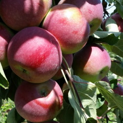 Paulared apples grow at Highmoor Farm research facility in Monmouth.