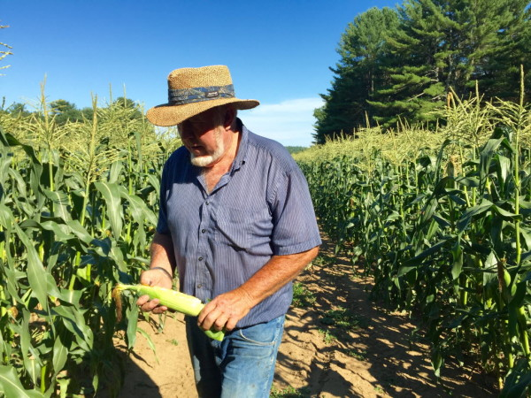 Farmer Bill Harris inspects sweet corn, which has cost him time and labor to water during a severe drought in southern Maine.