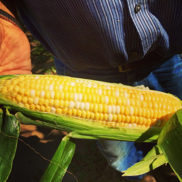 Sweet corn is in demand, despite a severe drought in southern Maine. This ear from Harris Farm was watered via irrigation.