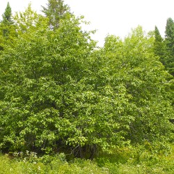 An older, wild apple tree can be seen on Aug. 30 at Rusty Metal Farm in Fort Kent. Northern Maine's landscape is dotted with these apple trees, and landowners can learn how to reclaim them and increase yields at Aroostook Apple Day.