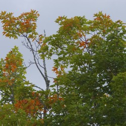 There are still a few weeks of summer left, according to the calendar, but leaves have already started to change colors in the St. John Valley. Beginning Sept. 14, the Maine Department of Agriculture, Conservation and Forestry will post regular fall foliage updates on its website.