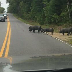 About two dozen pigs broke loose from their pen Tuesday morning on Route 123 in Harpswell.
