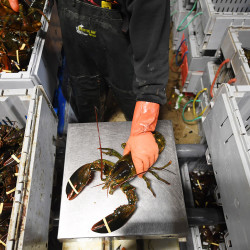 A man sorts lobsters at Ready Seafood on April 28 in Portland.