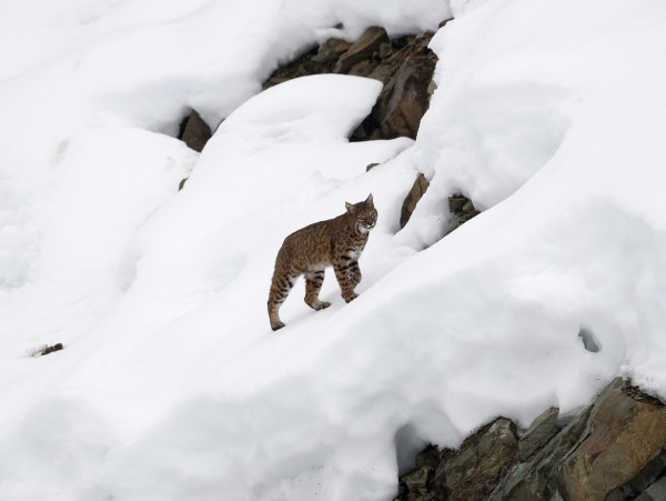 A lynx climbs a hill after crossing the finish area during the first training run for the men's Downhill race of the Vancouver 2010 Winter Olympics in Whistler, British Columbia, Feb. 10, 2010.