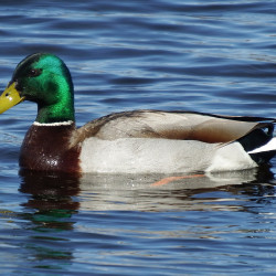 Mallards are notorious for being aggressive Lotharios, so it makes sense they would want to pretty up as soon as they can fly again.