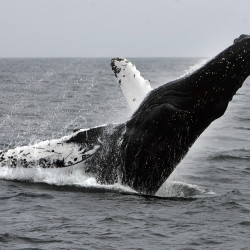 A humpback whale breaches on the way back from a day trip on Anacapa Island, off the coast near Ventura, California, in May 2008. The U.S. government on Sept. 6 removed most of the world's humpback populations from the federal list of endangered species