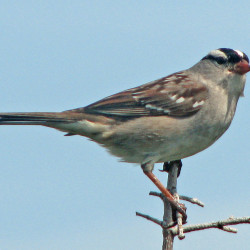 White-crowned sparrows look and act much like our white-throated sparrows, but the striped crown is more distinctly black and white. An individual under the bird feeder is not a big surprise this time of year, and sometimes there are small flocks traveling together.