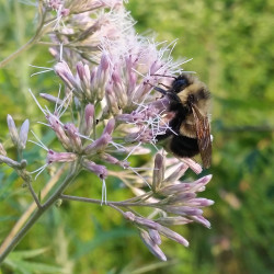 The rusty patched bumblebee is under consideration for federal endangered species status.