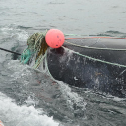 A juvenile male right whale tangled in fishing gear was rescued in August off Campobello Island.