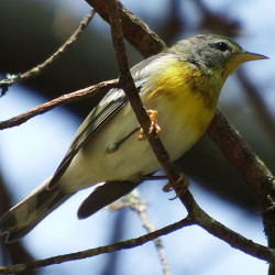Northern parulas are among the billions of songbirds making their annual migration and stopping off in Maine to rest and feed.