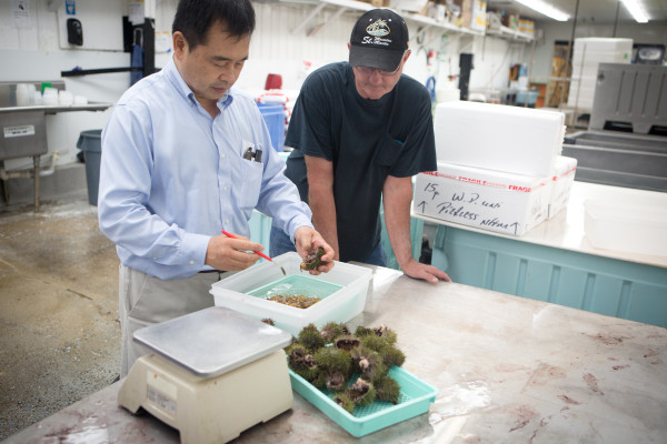 Fisherman Clint Richardson (right) watches while wholesaler Atchan Tamaki of ISF Trading in Portland inspects the urchin roe in his catch before offering him a price. Fishermen are only paid for the average weight of the roe, not the whole urchin.
