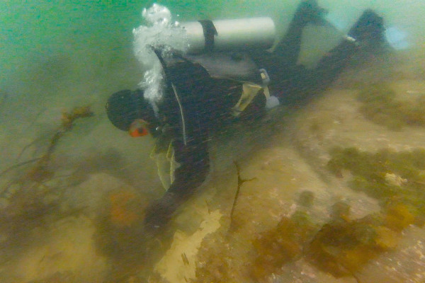 Clint Richardson dives for urchins in 10 feet of water on a secret ledge in Wheeler Bay off St. George.  With $4.3 million in total statewide landings in Maine in 2015, urchins now are the seventh-most lucrative commercially fished species in the state.