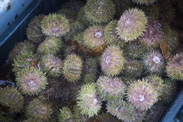 Urchins sit crammed into a plastic crate on the deck of Joe Leask's boat in Wheeler bay. The spiny creatures are related to the sand dollar and contain a roe that is a popular food on the east coast of the United States and in Japan.