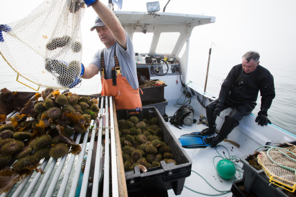 Joe Leask sorts urchins while Clint Richardson gets out of his drysuit at the end of a morning of harvesting off St. George. Richardson then drove to Portland to sell the catch.