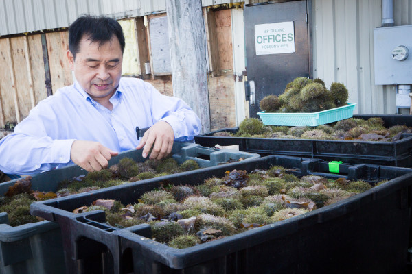 Wholesaler Atchan Tamaki of ISF Trading on Hobson's Wharf in Portland looks over Clint Richardson's urchin catch before offering him a price. The Maine Department of Marine Resources now requires urchin fishermen and wholesale dealers to use swipe cards to register every transaction for the spiny creatures.