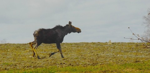 The five-week controlled moose hunt in Aroostook County is credited with reducing moose damage in broccoli fields.