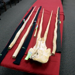 Narwhal tusks that were evidence in the case against Gregory Robert Logan, 58, of Woodmans Point, New Brunswick.