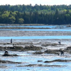 Marine harvesters dig for clams or worms in the tidal flats between Trenton and Mount Desert Island.