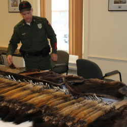 Maine Game Warden Jim Fahey checks out a pile of furs that were presented for tagging on Friday, Jan. 4, 2013, at the Maine Department of Inland Fisheries and Wildlife office in Bangor.