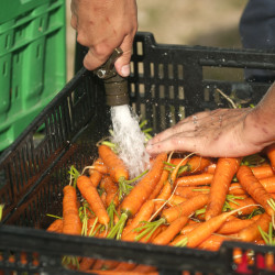 Tom Wolf, a farm apprentice from New Orleans, Louisiana washes carrots at the Four Season Farm in Brooksville in 2015.
