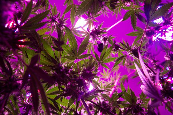 Marijuana is grown in Hermon in this October 2016 photo.