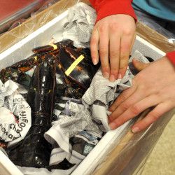 Katie McLaughlin packages live lobsters at McLaughlin Seafood in Bangor to be shipped to a customer in this December 2014 file photo.