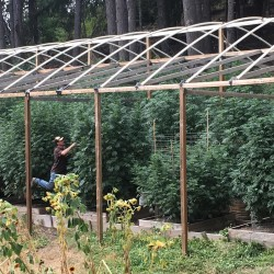 Cannabis grower Steve Dillon tends to his plants on his farm in Humboldt County, California, in this August 2016 file photo.